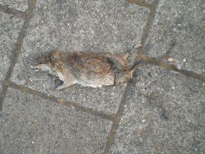 Flat rat, Zeeburgerstraat, Amsterdam, 28-07-2013